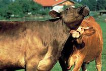 Hermannsdorfer Happy Cows